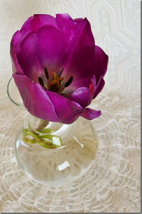 tulip 004