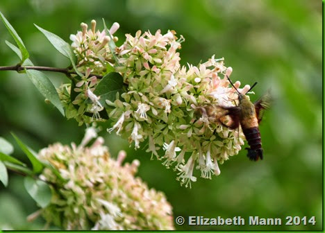 48-Hummingbird moth