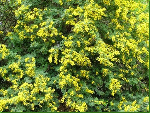 Acacia karroo_thumb[2]
