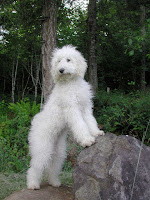 standing tall doodle dog