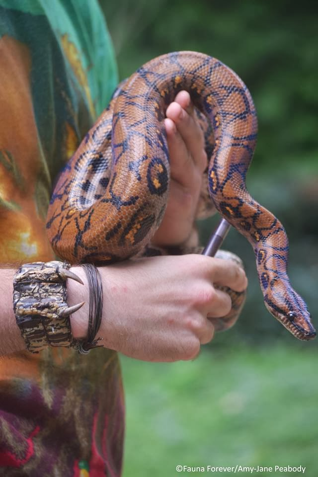 Rainbow Boa Epicrates cenchria Mark Fernley by Amy-Jane Peabody