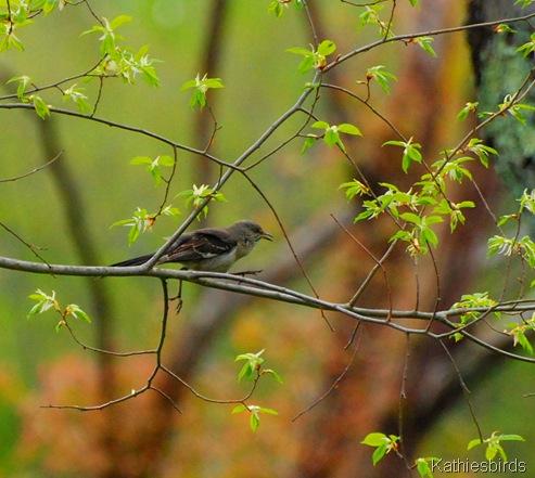 3. Mockingbird at bog-kab