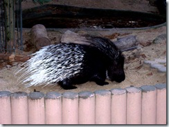 2011.11.12-005 porc-épic