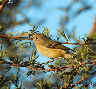 10. RC kinglet-kab