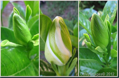 gardenia collage0608