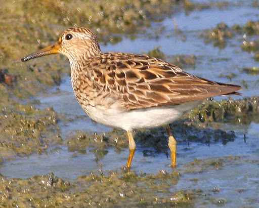 8-16-09, fish hatchery breeding pool, juvenile Pectoral Sandpiper, 9:27 a.m.