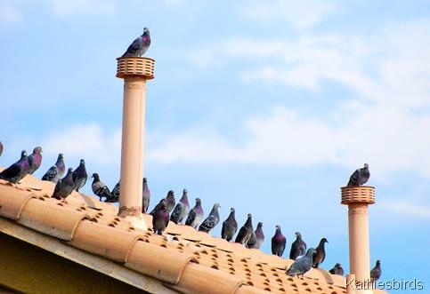 6. Pigeons-kab