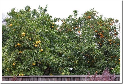 120103_grapefruit orange_01