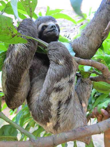 "A sloth hanging out in the tree at the local ""zoo""."