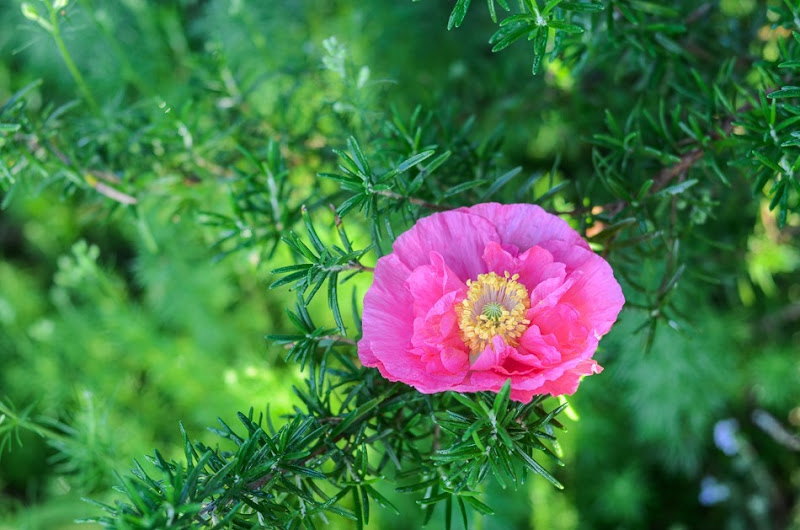 poppies-9646