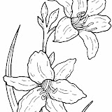 narcissus-1-coloring-page.jpg