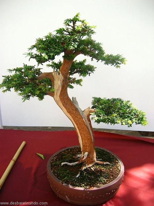 bonsais arvores em miniatura desbaratinando (48)