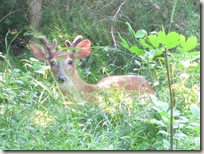 young_buck_resting_better