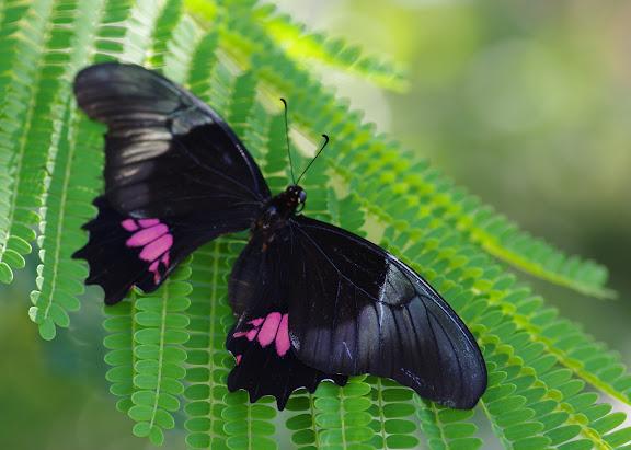 Papilio anchisiades ESPER, 1788. Barra do Una (Sao Sebastiao, SP). 7 février 2012. Photo : J.-M. Gayman