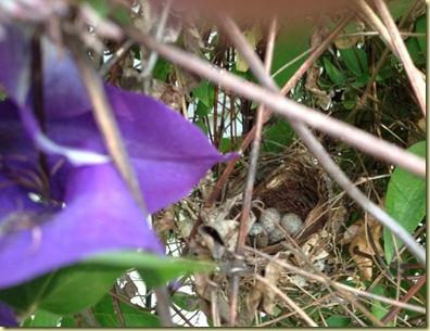 Nest in the Clematis