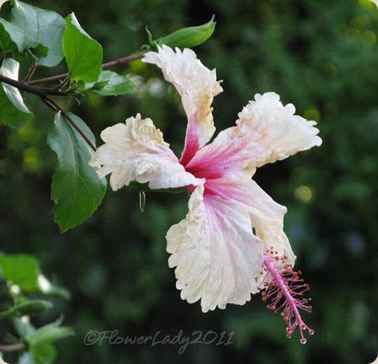 10-22-hibiscus