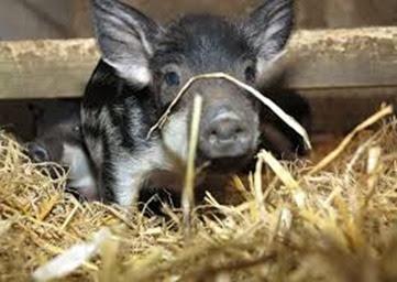 Amazing Pictures of Animals, Photo, Nature, Incredibel, Funny, Zoo, British Saddleback, Pig, Sus scrofa domesticus, Mammals, Alex (6)
