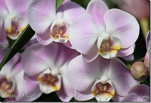 FPC_Orchids_Lilac4