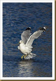 - rING-BILLED gULL D7K_9527 November 25, 2011 NIKON D7000