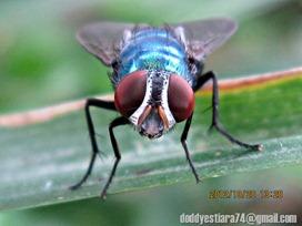 mata-merah-lalat-hijau_210