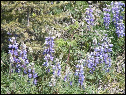 Lupines-In-Bloom-2