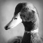Duck, Duck, Duck, Duck, Goose.jpg