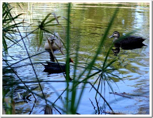 DucksPeaHenIMG_5793