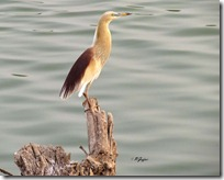 113 Pond Heron.