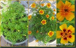 marigolds1012