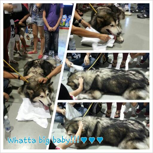 Pet Expo: Malamute