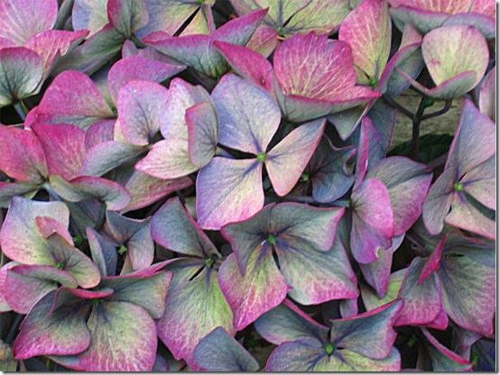garden-hydrangea-turned-blog-sept-07