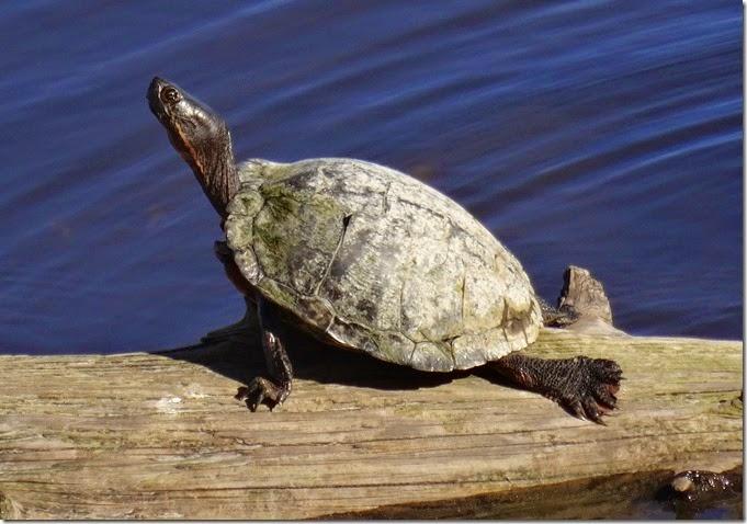 seattle turtle 030815 00000