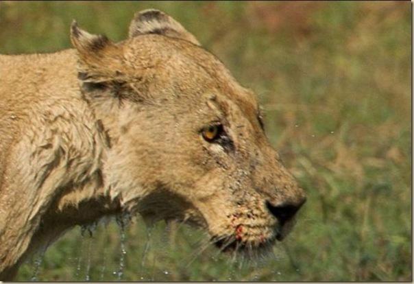 Le courage exeptionnel d'une lionne (10)