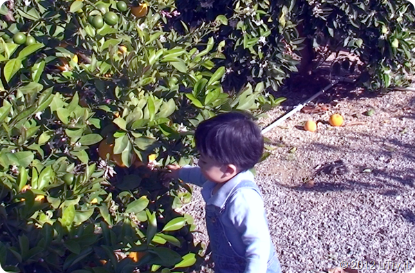 Little Helper Picking Meyer Lemons