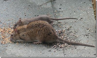 20120217 Rat 6