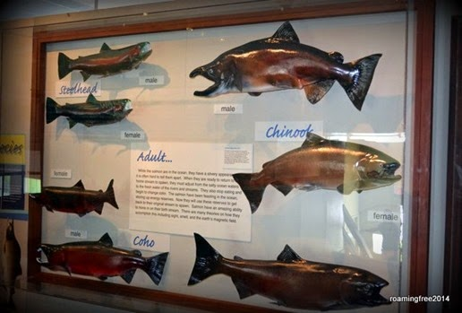 Salmon Display