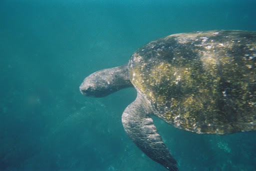 Snorkeling with sea turtles