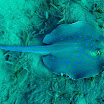 ogoncza_niebieska - Taeniura lymma - Bluespotted Ribbontail Ray .jpg