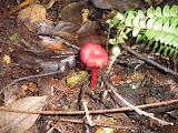 Red mushroom, Gn Malabar (Daniel Quinn, November 2010)