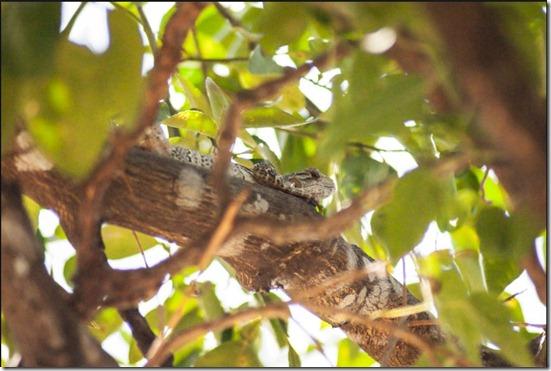 iguanaarbol