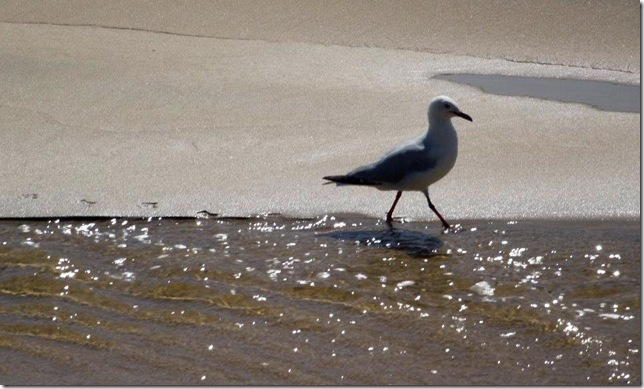 gull on beach-1