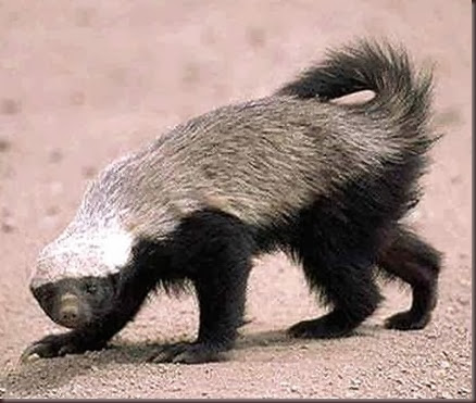Amazing Animals Pictures  honey badger (Mellivora capensis) (10)