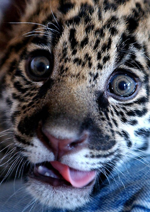 TOPIX GREECE BABY JAGUAR