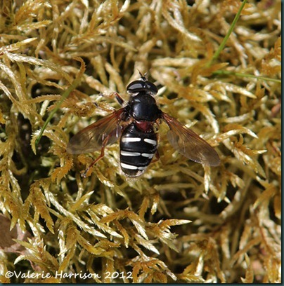 12-hoverfly-Sericomyia-lappona