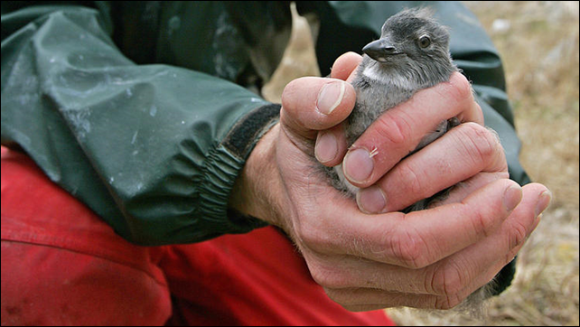 Biologist Russ Bradley holds a Cassin's auklet chick in 2006. The carcasses of thousands of Cassin's auklets washed ashore over from Northern California up to the north coast of Washington in late 2014 and early 2015. Photo: Ben Margot / Associated Press