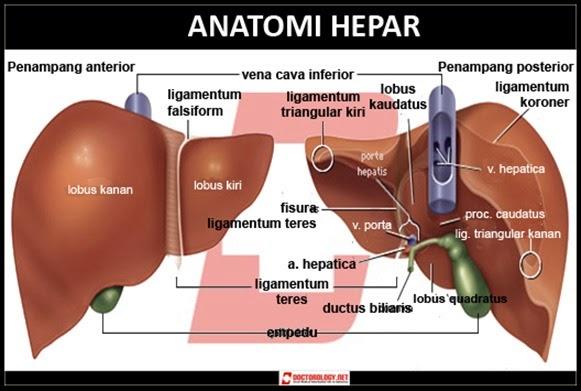 Organ Hati dalam Sistem Ekskresi pada Manusia