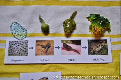Life Cycle of a Frog, Printable and Mini Figures
