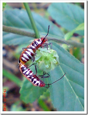 Dysdercus cingulatus (Red Cotton Bug) Mating