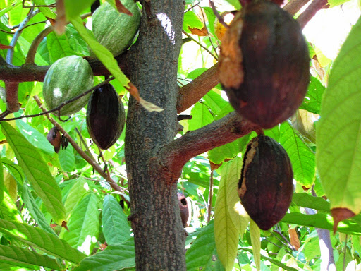 2015_0206--R019--HI-Kailua-Kona--D&J plantation house - cacao bean pods after maturity are fair game for rats that like to eat the beans!  So the pods need to be harvested immediately when they turn yellow or the rats have a feast, as seen with these brown pods that have already been eaten by the 4-legged creatures no-one likes.