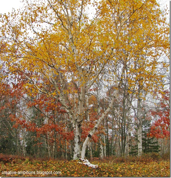 Paper Birch